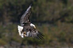 Φαλακρό κυνήγι αετών Στοκ Φωτογραφίες