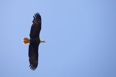 φαλακρό μπλε πέταγμα αετών  Στοκ φωτογραφίες με δικαίωμα ελεύθερης χρήσης