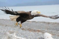 φαλακρό πέταγμα αετών στοκ φωτογραφίες