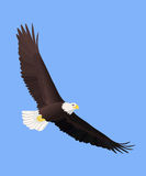 φαλακρό πέταγμα αετών Στοκ εικόνα με δικαίωμα ελεύθερης χρήσης