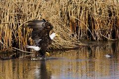 φαλακρό περπάτημα αετών Στοκ Εικόνες