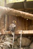 Φαλακρό πορτρέτο αετών γνωστό επίσης ως αμερικανικός αετός Στοκ εικόνα με δικαίωμα ελεύθερης χρήσης