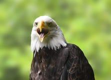 φαλακρό πορτρέτο αετών Στοκ φωτογραφία με δικαίωμα ελεύθερης χρήσης