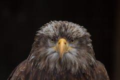 Φαλακρό πορτρέτο leucocephalus Haliaeetus αετών γνωστό επίσης ως αμερικανικός αετός Στοκ φωτογραφία με δικαίωμα ελεύθερης χρήσης