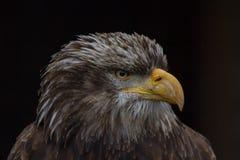 Φαλακρό πορτρέτο leucocephalus Haliaeetus αετών γνωστό επίσης ως αμερικανικός αετός Στοκ Φωτογραφία