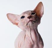 φαλακρό στενό γατάκι επάνω στοκ φωτογραφίες