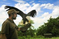 φαλακρό leucocephalus haliaeetus αετών Στοκ Φωτογραφίες