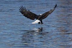 φαλακρό leucocephalus haliaeetus αετών Στοκ Φωτογραφία