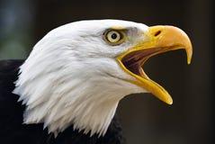 φαλακρό leucocephalus haliaeetus αετών Στοκ Εικόνες