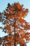 φαλακρό taxodium distichum κυπαρισσιών Στοκ φωτογραφία με δικαίωμα ελεύθερης χρήσης