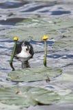φαλαρίδα ευρασιατική Στοκ φωτογραφία με δικαίωμα ελεύθερης χρήσης