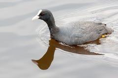 Φαλαρίδα στη λίμνη Rogoznyanskoye στη Λευκορωσία στοκ εικόνα με δικαίωμα ελεύθερης χρήσης