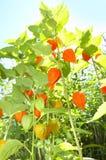 φανάρια λουλουδιών Στοκ Εικόνες