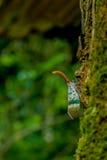 Φανάρι-μύγα Στοκ εικόνα με δικαίωμα ελεύθερης χρήσης