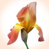 Φαντασία η πορτοκαλιά Iris για το σχέδιο των αφισών, έμβλημα, κάρτα γενεθλίων Στοκ φωτογραφία με δικαίωμα ελεύθερης χρήσης