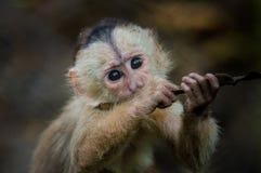 Φανταστική φωτογραφία κινηματογραφήσεων σε πρώτο πλάνο εύθυμου χαριτωμένου λίγος πίθηκος από τη ζούγκλα Ισημερινός της Αμαζώνας Στοκ Φωτογραφίες