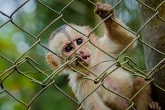 Φανταστική φωτογραφία κινηματογραφήσεων σε πρώτο πλάνο εύθυμου χαριτωμένου λίγος πίθηκος από τη ζούγκλα Ισημερινός της Αμαζώνας Στοκ Φωτογραφία