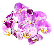 Φανταστικοί γδυμένος πορφυρός και άσπρος της ορχιδέας λουλουδιών στοκ φωτογραφία