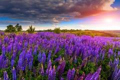 Φανταστικό ηλιοβασίλεμα πέρα από το λιβάδι με το lupine λουλουδιών και το ζωηρόχρωμο ουρανό Στοκ Φωτογραφίες