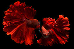 Φανταχτερά κόκκινα ψάρια πάλης Betta ή Saimese στοκ φωτογραφία