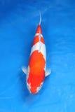 Φανταχτερά ψάρια κυπρίνων στην αίθουσα Στοκ εικόνες με δικαίωμα ελεύθερης χρήσης