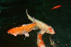 Φανταχτερά ψάρια κυπρίνων, ψάρια koi Στοκ Φωτογραφίες