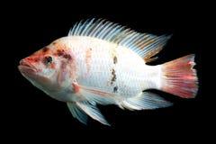 Φανταχτερά Tilapia ψάρια Στοκ Φωτογραφία