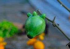 Φανταχτερή μελιτζάνα, φρούτα θηλών, φρούτα Titty Στοκ Εικόνες