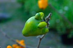 Φανταχτερή μελιτζάνα, φρούτα θηλών Στοκ εικόνα με δικαίωμα ελεύθερης χρήσης