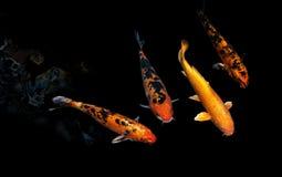 Φανταχτερός κυπρίνος Koi Στοκ εικόνα με δικαίωμα ελεύθερης χρήσης