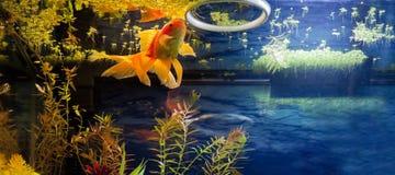Φανταχτερός χρυσός χρόνος μεσημεριανού γεύματος ψαριών Στοκ Εικόνες
