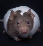 Φανταχτερό ποντίκι Στοκ Εικόνες