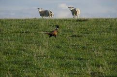 Φασιανός που τρέχει πέρα από τον τομέα με τα πρόβατα Στοκ φωτογραφίες με δικαίωμα ελεύθερης χρήσης