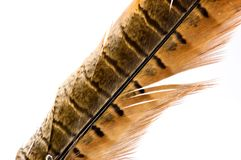 φασιανός s φτερών Στοκ φωτογραφίες με δικαίωμα ελεύθερης χρήσης