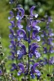 Φασκομηλιά λιβαδιών (pratensis Salvia) Στοκ φωτογραφία με δικαίωμα ελεύθερης χρήσης