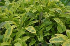 φασκομηλιά φυτών Στοκ εικόνα με δικαίωμα ελεύθερης χρήσης