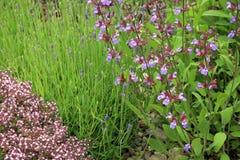 Φασκομηλιά, lavender και άγριο θυμάρι Στοκ εικόνες με δικαίωμα ελεύθερης χρήσης