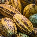 Φασόλια κακάου και φρούτα κακάου Στοκ φωτογραφία με δικαίωμα ελεύθερης χρήσης