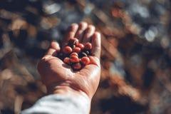 Φασόλια καφέ και φασόλια καφέ χεριών από τον κήπο καφέ araceli στοκ εικόνα με δικαίωμα ελεύθερης χρήσης