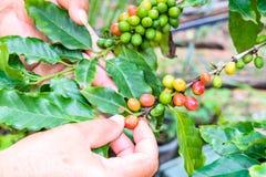 Φασόλια καφέ που ωριμάζουν στο δέντρο Στοκ Εικόνες