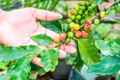 Φασόλια καφέ που ωριμάζουν στο δέντρο Στοκ Φωτογραφία