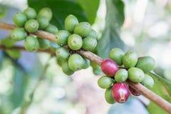 Φασόλια καφέ στον κλάδο στο αγρόκτημα φυτειών καφέ arabica καφές βόρεια αγροτική Ταϊλάνδη Φασόλια καφέ έτοιμα να επιλέξουν φρέσκο Στοκ Εικόνες