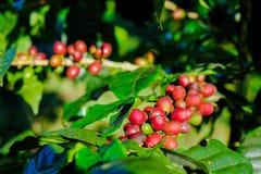 Φασόλια καφέ στον κλάδο Στοκ Εικόνες