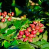 Φασόλια καφέ στον κλάδο Arabica Στοκ εικόνα με δικαίωμα ελεύθερης χρήσης