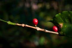 Φασόλια καφέ στο δέντρο καφέ στοκ εικόνες με δικαίωμα ελεύθερης χρήσης