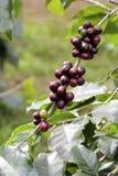 Φασόλια καφέ στο δέντρο Στοκ Εικόνες