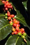 Φασόλια καφέ στο φυτό στοκ εικόνα