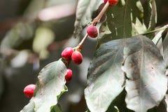 Φασόλια καφέ arabica Coffea σε έναν θάμνο Στοκ Εικόνες