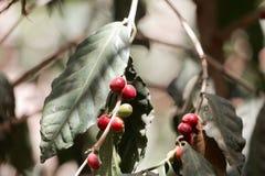Φασόλια καφέ arabica Coffea σε έναν θάμνο Στοκ εικόνες με δικαίωμα ελεύθερης χρήσης