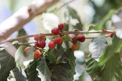 Φασόλια καφέ arabica Coffea σε έναν θάμνο Στοκ εικόνα με δικαίωμα ελεύθερης χρήσης
